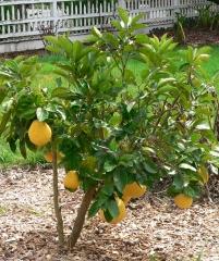 Citrus limon Ponderosa Лимон Пандероза