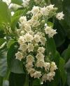 Валларис ароматный-Vallaris glabra