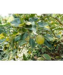 """Citrus Limon """"Sungold"""" variegata"""
