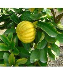 Limon Mellarosa, Лимон