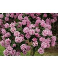 Dais cotinifolia (Даис скумпиелистный, Помпонное дерево)