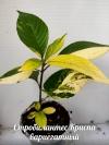 Стробилантес Криспа вариегатный -растение с фото