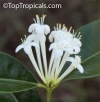 Phaleria clerodendrum ( редкость)