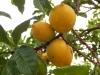 Pouteria caimito   - укор череок