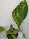 Pachystachys coccinea variegated  (очень долго искала эту красоту)