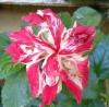 Hibiscus Baptistii