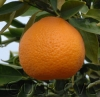 Oroval c. clementine