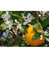 Citrus paradisi Pomelo-pamplemousse