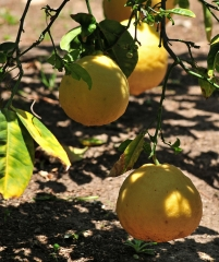 Citrus limon Ponderosa