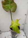 Philodendron Hammer Head (golden leaf)