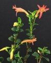 Ballochia rotundifolia - Баллокия круглолистная -новинка