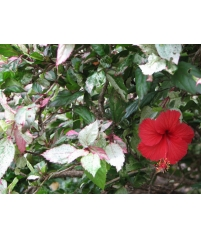 Hibiscus rosa-sinensis (white variegated)