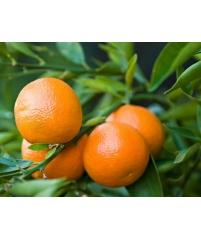 """Citrus clementina 'Bellezza"""""""