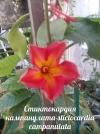 Стиктокардия кампанулата-stictocardia campanulata