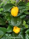 Eugenia neonitida (большая редкость)