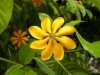 Gardenia Carinata -подросток