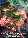 Ixora sp.(T18 ) orange flower and wavy leaf