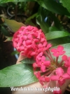 Rondeletia leucophylla