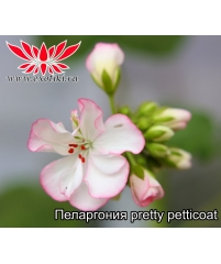 Пеларгония pretty petticoat