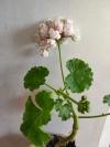 Pelargonium prince gustav