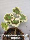 Пеларгония warrenorth platinum черенок с фото