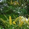 Рео (растение с фото)