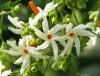 Nyctanthes arbor-tristis-ночной жасмин