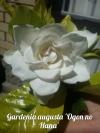 Gardenia augusta 'Ogon no Hana'