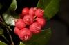 Syzygium fibrosum ( Австралия)