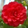 Камелия японская красная