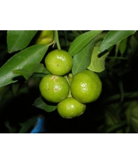 Avana Apireno citrus deliciosa