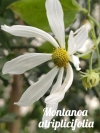 Montanoa atriplicifolia