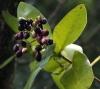 Syzygium cordatum -сизигиум сердцевидный