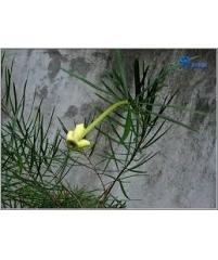 Brunfelsia densifolia (очень редкий сорт)