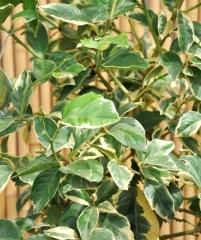 Citrus limon Foliis Variegatis, пестролистный лимон