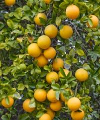 Carrizo citrange trifoliate hybid