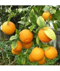 Citrus Volkameriana, гибрид лимона и кислого апельсина