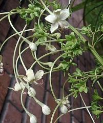 Клеродендрум sahelangii (брызги шампанского