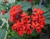 Clerodendrum splendens 'Pure Red'