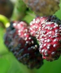 Dwarf Mulberry 'Dwarf Everbearing' домашняя шелковица