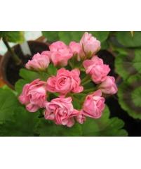 Пеларгония australien pink