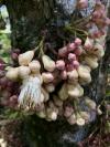 Syzygium cormiflorum