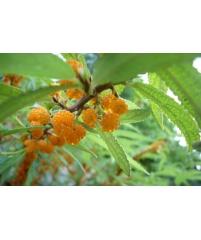 Debregeasia edulis, Дебрегеасия съедобная