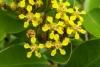 Heteropterys Chrysophylla - Гетероптерис Золотолистный