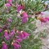 Eremophila alternifolia pink