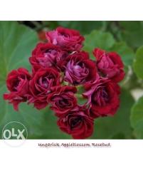 Пеларгония ungarisk appleblossom