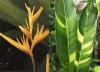 Heliconia 'Golden Torch' variegated (вариегатность не яркая)