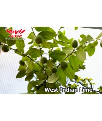 Лайм West indian Lime