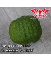 """Цитрон """"Помпиа""""  C. medica """"Pompia"""""""
