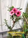 Leptospermum ballerina